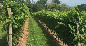 Vines at Grand Pré Winery