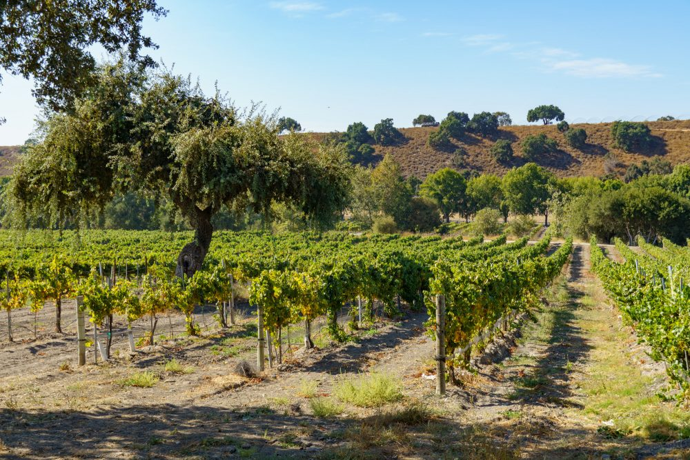 Picture of grape vines at a vineyard in Los Olivos